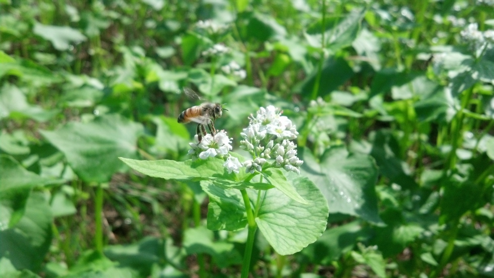 The buckwheat field is a-buzz with activity each morning.