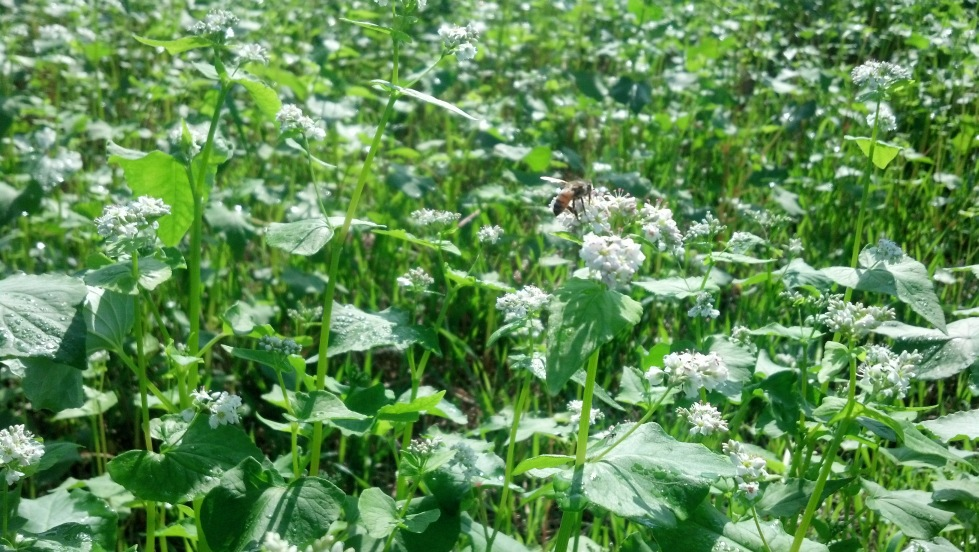 Bees working buckwheat that we planted.