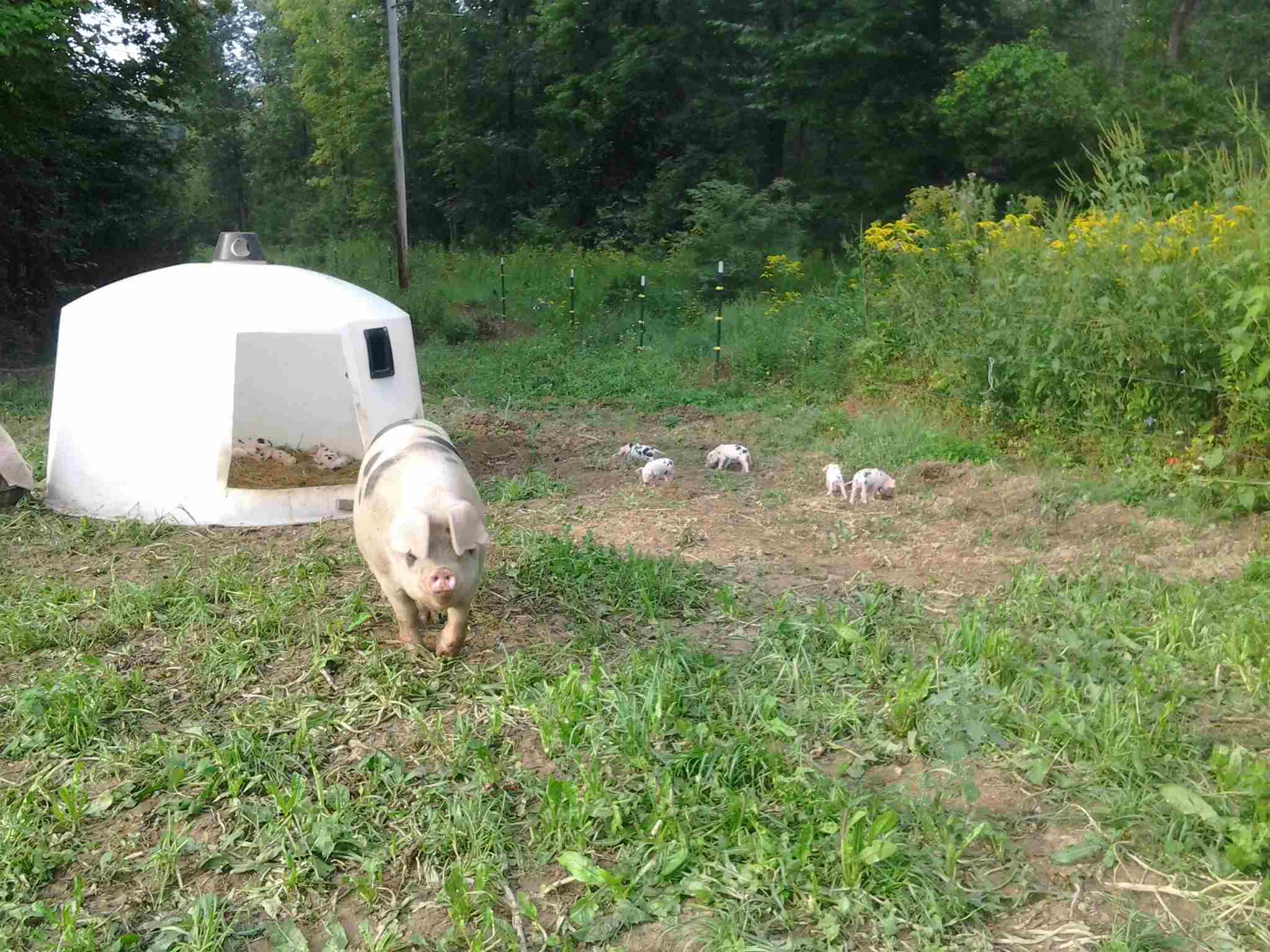 Blue group sow, Bandit, with a great litter